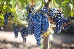 Subvenciones para inversiones en el sector del vino